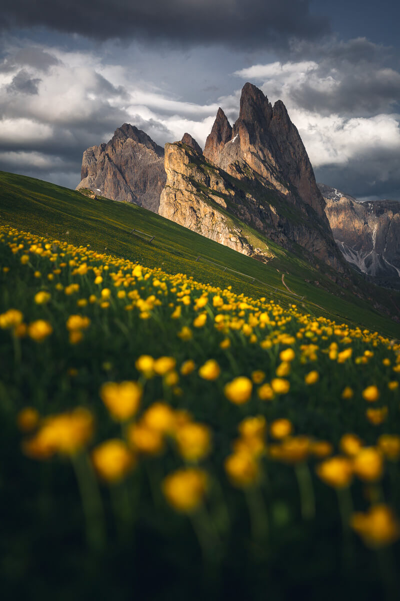 Yellow flowers blooming at Seceda