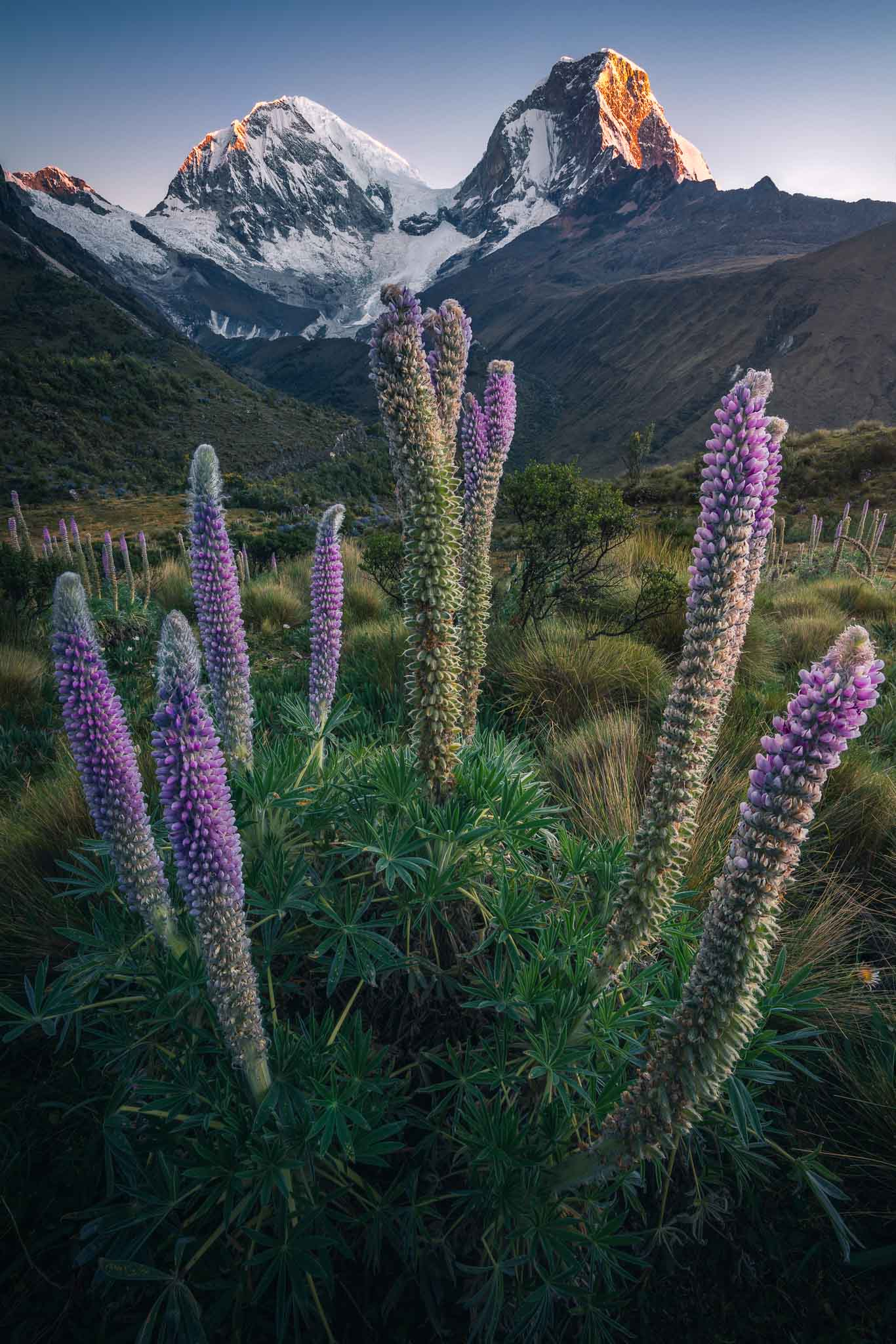Garden of lupins during the Peru Photo Tour